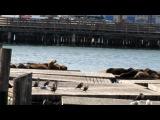 Морские котики в Сан-Франциско