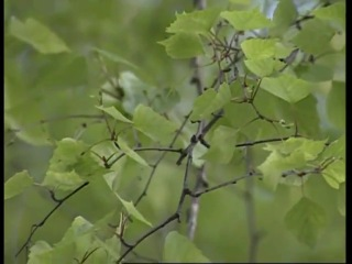Свойства берёзовых листьев
